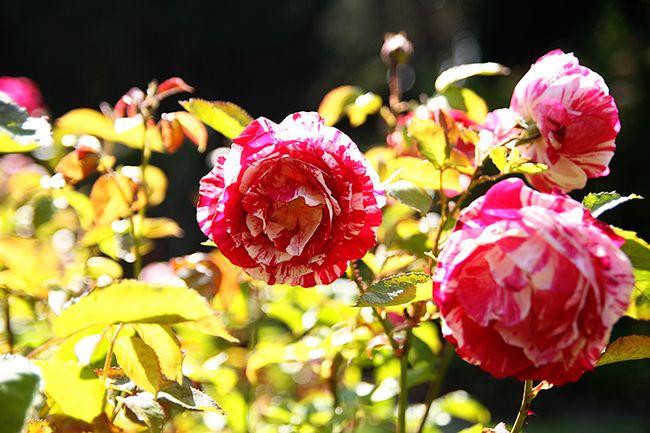 Peppermint rose web